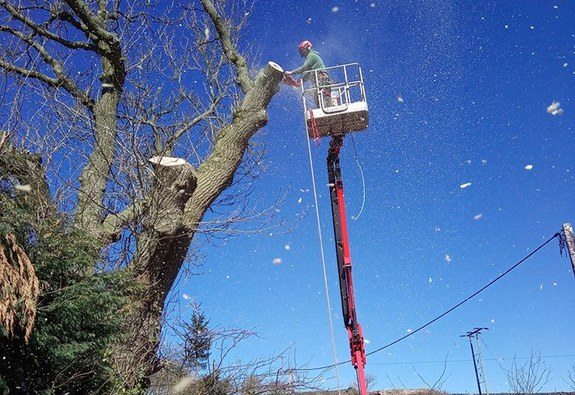 Tree surgeon safely dismantling dangerous tree from basket of a tracked spider cherrypicker placed on the road.